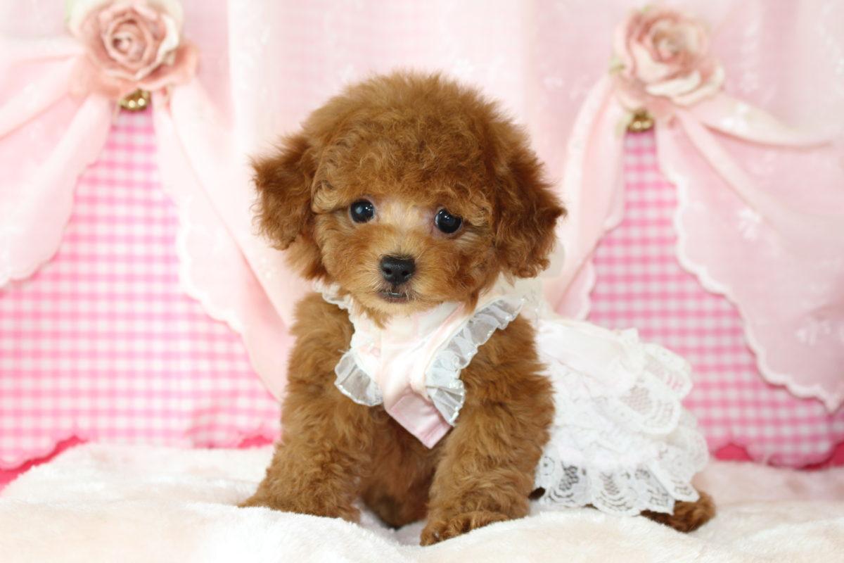 2019年12月30日生まれ♡女の子♀♡毛色 : アプリコット♡サイズ : 小さめタイニー♡価格 : ー 円(税込)♡ご成約いたしました♡ペットローン分割可(3~36回払い)♡♡